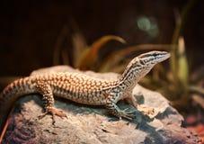 Ridge-tailed monitor in terrarium Stock Image