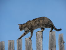 Ridge Walker Series #1. Picture of multi-colored tabby walking the upper edge of 1/2 inch planks, all set against a blue sky. Available text space Stock Photo