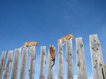 Ridge Walker Series #10. 3 orange and white kittens experiment in their skill at climbing and balancing atop a row of planks. The blue sky offsets them nicely Royalty Free Stock Images