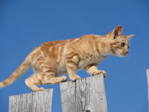 Ridge Walker Series #5. Close up picture of orange colored kitten (head to the right) walking the upper edge of 1/2 inch planks, all set against a blue sky Royalty Free Stock Images
