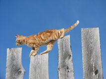 Ridge Walker Series #7. Picture of orange colored kitten (head to the left) mid-stride between the upper edge of two 1/2 inch planks, all set against a blue sky Stock Image