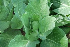 Ridge young cabbage Royalty Free Stock Photography