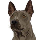 ridgeback собаки крупного плана breed тайское Стоковое Изображение