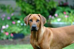 ridgeback собаки rhodesian Стоковая Фотография
