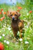 ridgeback щенка поля rhodesian Стоковые Фото