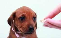 ridgeback щенка Стоковая Фотография