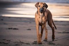 ridgeback щенка rhodesian Стоковое Изображение RF