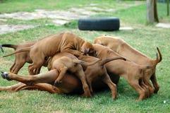 ridgeback щенят rhodesian Стоковое Изображение RF