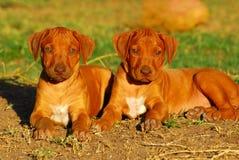 ridgeback щенят rhodesian Стоковое фото RF