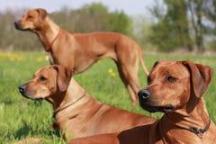 Ridgeback. Three Rhodesian Ridgeback dogs are in alert royalty free stock photography