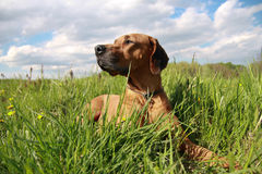 Ridgeback Fotos de Stock Royalty Free