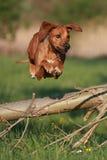 Ridgeback. Rhodesian Ridgeback dog jumping over log stock image