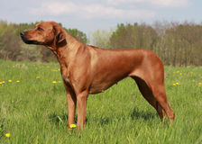 Ridgeback Fotos de Stock