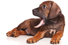Ridgeback Royalty Free Stock Photo