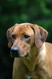 Ridgeback. A beautiful healthy Rhodesian Ridgeback hound dog head portrait with alert expression in the face watching other dogs in the park outdoors stock image