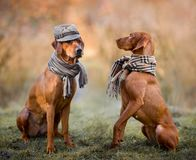 Ridgeback And Vizsla Portrait Royalty Free Stock Photography