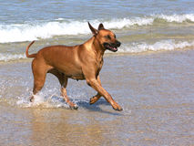Ridgeback at the beach. A ridgeback playing on the beach Stock Images