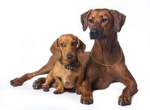 Ridgeback and dachshund Royalty Free Stock Image