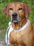 Ridgeback de Rhodesian de chien et ruban blanc photo stock