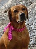 Ridgeback de Rhodesian de chien et ruban rose photos libres de droits