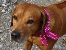 Ridgeback de Rhodesian de chien et ruban rose image libre de droits