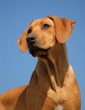 Ridgeback de Rhodesian del perrito Fotos de archivo libres de regalías