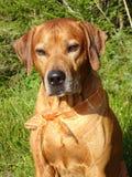Ridgeback di Rhodesian del cane e nastro arancio immagini stock libere da diritti