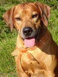 Ridgeback di Rhodesian del cane e nastro arancio fotografie stock