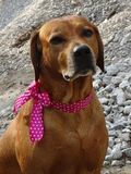 Ridgeback di Rhodesian del cane e nastro rosa fotografie stock libere da diritti