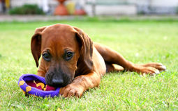 Ridgeback do filhote de cachorro Foto de Stock Royalty Free