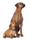 Ridgeback dog and dachshund Royalty Free Stock Images