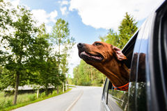 Ridgeback dog enjoying ride in car looking out of window Royalty Free Stock Images