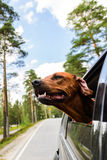 Ridgeback dog enjoying ride in car looking out of window Stock Images