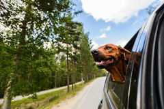 Ridgeback dog enjoying ride in car looking out of window Royalty Free Stock Photo