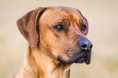 Ridgeback dog Royalty Free Stock Photography