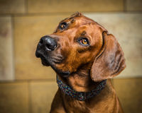 Ridgeback Royalty Free Stock Photos