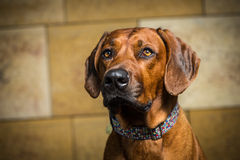 Ridgeback Royalty Free Stock Photography