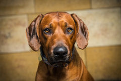 Ridgeback Royalty Free Stock Images