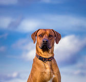 Ridgeback dog Stock Photo