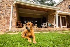 Ridgeback Dogs Home Stock Photos