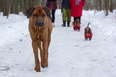 Ridgeback en un paseo en un parque del invierno con los perros basset imagenes de archivo