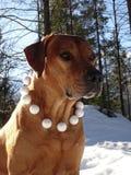 Ridgeback et boules de neige de Rhodesian de chien Images stock