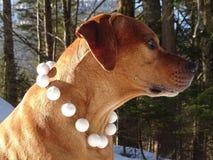 Ridgeback et boules de neige de Rhodesian de chien Photographie stock libre de droits