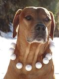 Ridgeback et boules de neige de Rhodesian de chien Photo stock
