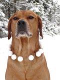 Ridgeback et boules de neige de Rhodesian de chien Images libres de droits