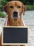Ridgeback et tableau de Rhodesian de chien en nature image stock