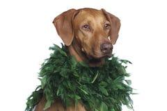 Ridgeback-Hund im Studio Lizenzfreies Stockbild