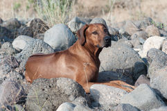 Ridgeback looking on camera. Rhodesian ridgeback lies on rocks on the bank of the river and looks on photographer Stock Photography