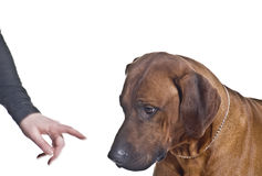 Ridgeback is punished Stock Images