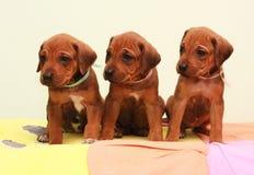 Ridgeback puppy. Three beautiful Rhodesian Ridgeback puppy standing a watching stock photography